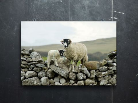 Over the Wall Swaledale Sheep Large Canvas Print